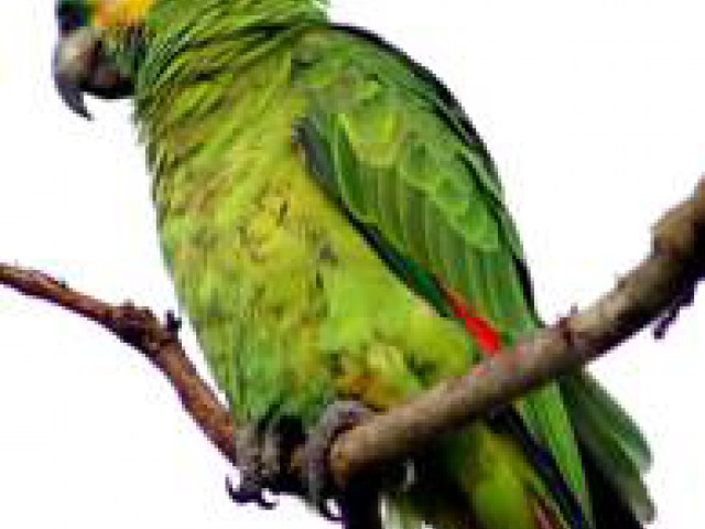 Projeto Papagaio-Verdadeiro visa impedir a extinção da espécie
