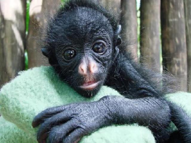 Parque Ecológico de São Carlos recebe filhote de macaco-aranha